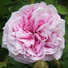 Soeur Marthe - Zartrosa - Rosa_muscosa - Historische_Rosen - Rosen - Rosen von Schultheis