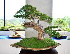Ucarillo (Bucida espinosa) Bonsai Art, Bonsai Garden, Potted Trees, Flowering Trees, Bonsai Styles, Miniature Trees, Cactus, Tree Forest, Small Trees