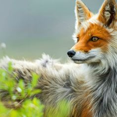 animal kingdom, fox, mammal