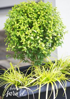 Create a Patio Oasis with Southern Living Plants - Sincerely, Sara D. Lemon Lime Nandina, Agapanthus, Unique Plants, Southern Living, Outdoor Rugs, Container Gardening, Oasis, Diy Projects, Backyard