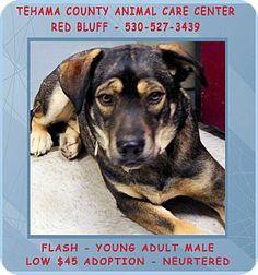 Red Bluff, CA - German Shepherd Dog/Labrador Retriever Mix. Meet Flash a Dog for Adoption.