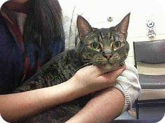 BRINLEY...Pittsburgh, PA - Domestic Mediumhair. Meet BRINLEY a Cat for Adoption.