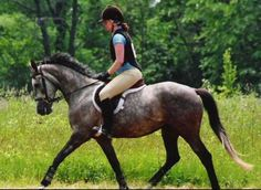 """Feuerever, a chestnut who has """"gone gray"""".  It is quite common for red based horses to get very dark during the graying process (even palominos).  It is also common for these horses to be confused with colors such as liver chestnut with sabino, especially by owners who didn't expect their horse to gray."""