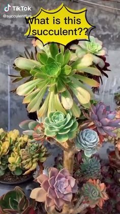 Types Of Succulents Plants, Flowering Succulents, Growing Succulents, Cacti And Succulents, Growing Plants, Planting Succulents, Different Types Of Succulents, Succulent Landscaping, Succulent Gardening