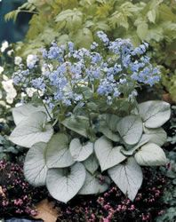 Brunnera 'Looking Glass' (PPAF)
