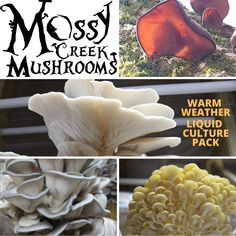 Grow your own mushrooms at home for food and profit! The Warm Weather Bulk Liquid Culture Pack includes a syringe for Elm Z, Wood Ear, Golden Oyster, Pink Oyster, Pathfinder & King Blue Oyster. Fast simple and easy to use!   #how #to #grow #mushrooms #keep #spawning #culture #Mossy #Creek #Mushrooms #warm #weather #growing #mushrooms #easy #DIY #Fungus #Liquid #Culture #at #home #Indoors #athome #wood #ear #ElmZ #Golden #Oyster #pink #king #blue #oyster Grow Your Own Mushrooms, Growing Mushrooms, Oysters, Warm Weather, Farmer, Easy Diy, Stuffed Mushrooms, Dish, The Incredibles
