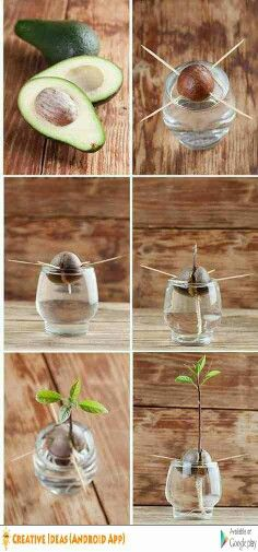 How to plant avocado seed?