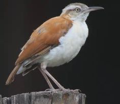 Bay Hornero or Pale-billed Hornero (Furnarius torridus) is a species of bird in the Furnariidae family. It is found in wooded habitats along rivers in eastern Ecuador, north-eastern Peru, western Brazil, and, as recently confirmed, far south-eastern Colombia.