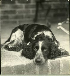 Don't leave me. English Springer  I know that look.