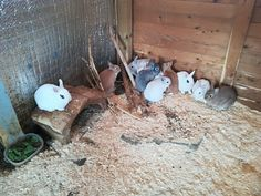 Kijiji - Buy, Sell & Save with Canada's Local Classifieds Rabbits For Sale, Miniature, Small Animals, Bunnies, 6 Months, Colors