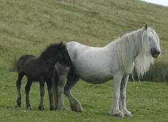 'The Mane Thang' is that in 1922 The Fell Pony Society was founded. They are native to the North of #England and can be seen in the Cumbrian part of the #Yorkshire Dales National Park.
