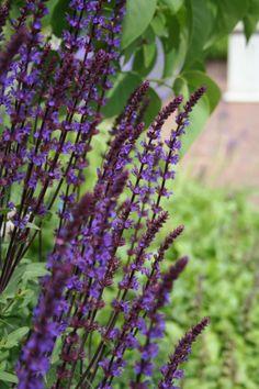 Salvia nemorosa 'Caradonna' (Salie) aren+ kleine lipbloemen, zwarte stengels, prachtige, stevige borderplant, lange bloei, na 1e bloei direct kort knippen voor 2e bloei.