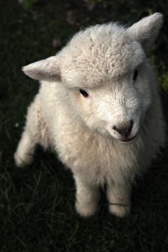 i love sheep.  and goats.  and donkeys.  i need my own zoo...