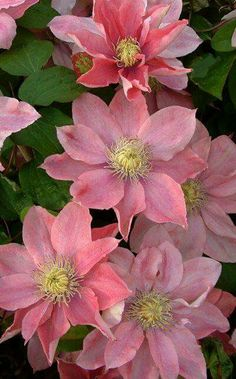 Little Mermaid Clematis                                                                                                                                                                                 More