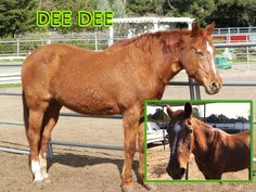 (Part 2) Dee Dee loves to be groomed and talked about. She will regularly find herself in the middle of our discussions in the arena, with her head right inside the circle of people looking as though she has some  great input to add for the day  And this wonderful horse is available for sponsorship… If you or anyone you know might be interested, please let us know or visit our website or Facebook page. Thank you so much :)