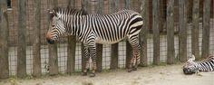 Zebra GaiaZOO Kerkrade #visitzuidlimburg #familie_uitjes