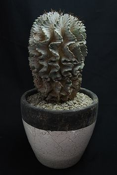 特殊肌ホリダ Euphorbia horrida v.