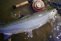 Want to get me some steelhead
