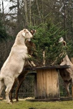 <3 Goats love to munch on your leftover Christmas tree! Perfect treat for them. I actually saw this on the news earlier today.