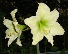 Amaryllis | World Of Flowers