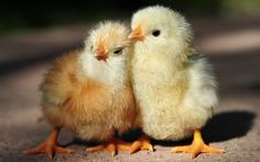 Cute and innocent chicks wallpaper