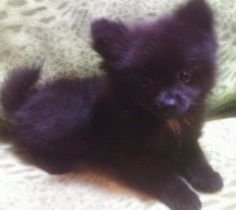 Getting one tomorrow (: Cute Funny Animals, Funny Animal Pictures, Black Pomeranian Puppies, Black Puppy, Pomeranians, Poodles, Pom Poms, Pet Shop, Animal Kingdom