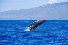 I want to go to Maui this year!  I hope to see the whales.