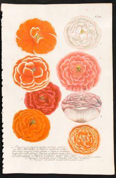 Poppies - Johann Weinmann