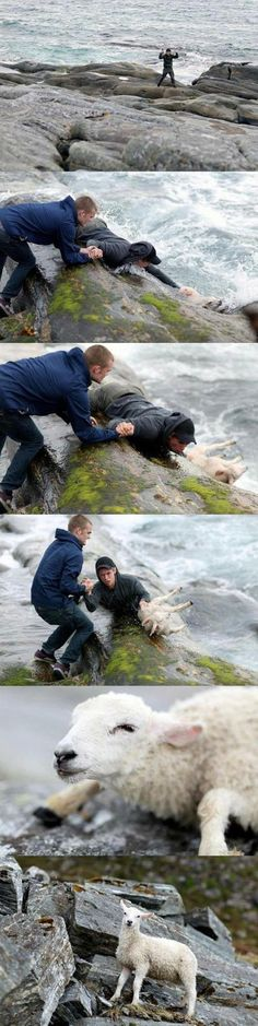 3. This picture of two Norwegian guys rescuing a sheep from the ocean.