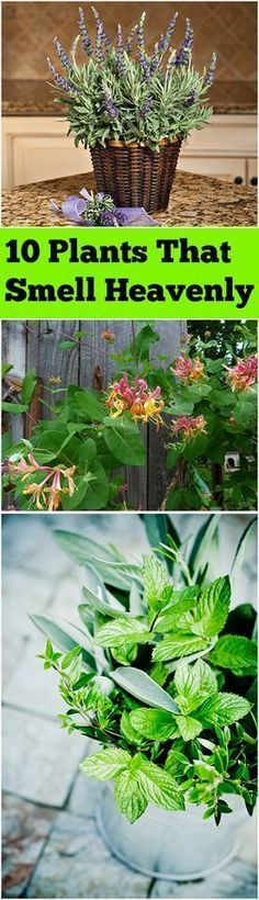 10 Plants That Smell Heavenly Plants bring life to the indoors and out for many reasons, and one great perk for some plants is their wonderful scent. Throw out the bottles of air freshener and bring i (Bottle Garden Plants) Outdoor Plants, Garden Plants, Outdoor Gardens, Fence Plants, Garden Shrubs, Flowering Plants, Plants Indoor, Shade Garden, Container Gardening
