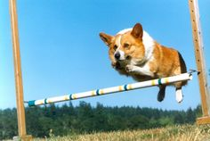 Jump, Corgi, jump!    My soft spot for corgis grows...    I've never wanted a small dog, or a long-haired dog.  But...but...so cute!