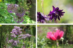 fleur #allium #ancolie #thalichtrum #pavot