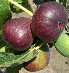 Fig Tree 'Brown Turkey' Ficus carica - One of the hardiest varieties on the market. Height at maturity 6'. Cold hardy to Zone 6.