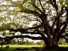Massive tree - Clayton, Panama