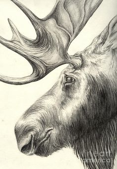 Moose Drawing by Aurora Jenson - Moose Fine Art Prints and Posters for Sale