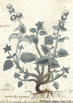 Wild Mint (Mentha), inscribed hedyosmon agrios | De materia medica | Turkey, Istanbul | mid 10th century | The Morgan Library & Museum