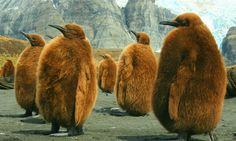 Wonderful little(!) Woolies, aka, King Penguin chicks in th'antarctic.