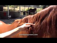 Using a mane blade to shorten a mane without pulling.  proequinegrooms.com
