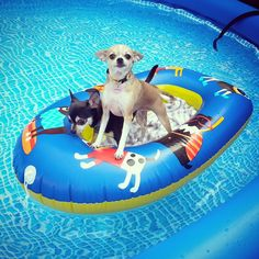 Nautical Chihuahuas! We got this blow up baby boat at Walmart for $5...and it had dogs on it! Couldn't be more perfect! We put down a towel in the bottom as an extra layer of protection for their nails.