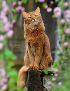 Most current Cost-Free cat breeds somali Popular Kittens and cats along with big head could often be essentially the most sweet critters in the world. These types of ve Cute Cats And Kittens, Kittens Cutest, I Love Cats, The Animals, Warrior Cats, Orange Cats, Cat Photography, Domestic Cat, Beautiful Cats