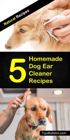 Homemade Dog Food Easy-to-make homemade dog ear cleaner recipes made out of all natural ingredients like hydrogen peroxide, vinegar, tea tree oil, vinegar, essential oil or witch hazel. The ideal cleaning solutions for your puppies and pets. Dog Ear Cleaner Homemade, Homemade Dog Food, Ear Cleaner For Dogs, Homemade Dog Shampoo, Dog Care Tips, Pet Care, Golden Retriever, Labrador Retriever, Cleaning Dogs Ears