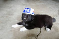 Drako - 6 weeks old Newfoundland puppy dog