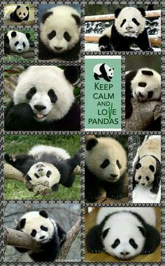 Keep calm and love pandas!  (Seems like great advice to me!)  :)