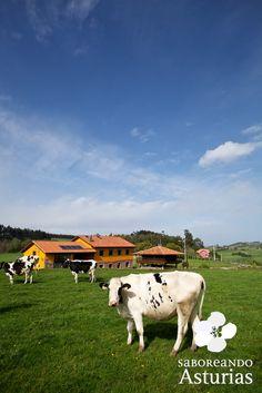 La #ganadería es una de las actividades más identificativas de #Asturias, y los productos derivados como la carne o la leche gozan de gran prestigio precisamente por su calidad.  ¿No sientes curiosidad por experimentar la sensación de ordeñar una vaca? ¿o darle de comer con tu propia mano a un ternero o a un cabrito?  ¡Pues ahora te podrás sentir plenamente integrado en la vida del campo! www.saboreandoasturias.org.