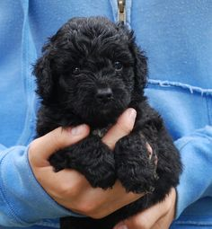mini black Australian Labradoodle, my housemate just had 6 Labradoodles, not mini or Australian, but still going to be cute!