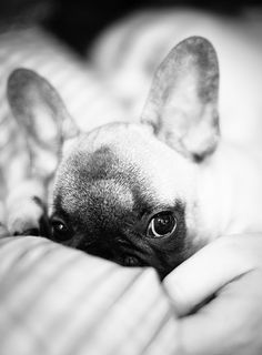 'Luna' the Peeking French Bulldog Puppy.