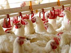 Prohíben importar de aves de corral de China - Soy Armenio