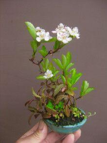 盆栽:サンザシの寄せ植え |春嘉の盆栽工房