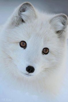 L'eleganza della volpe bianca