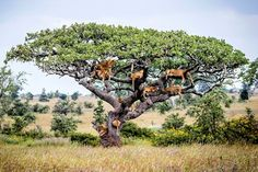 At least 15 lions lounging on the branches of a sturdy tree in Central Serengeti, Tanzania, trying to escape flies in the long grass